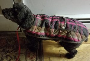Bonnie in her new coat waiting to go out 12/28/2017. Photo by Charles Oropallo